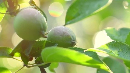 Fotoväggar - Apple tree. Organic apples hanging on branch in a garden with rain drops. Watering garden. Green apples closeup. Slow motion 4K UHD video 3840x2160