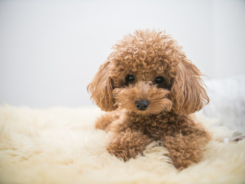 Curly-Haired Toy Poodle
