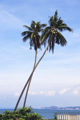 Two beautiful palm tree