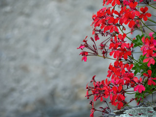 Red trailing pelargoniums and gray wall, Italy.