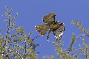 Hawk launch from tree top perch