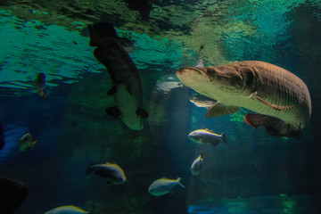 Big fish swims to the surface of the water in the rays of the sun. Fish is reflected from the surface of the water. Front view.