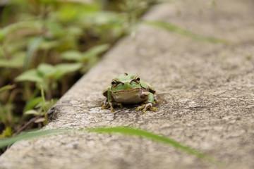 Japanese tree frog - Hyla japonica.