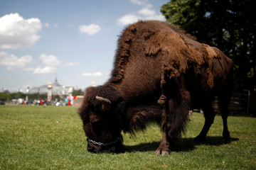 A bison is seen on the Invalides Esplanade in Paris during a demonstration held by a group of fairground and circus workers that support the use of animals in their shows, and protest against the cancellation of circuses in Paris