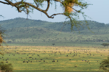 Landscape of Serengeti park full of animals with tree branch unfocused