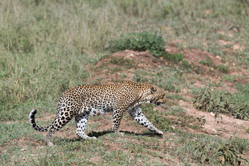 Walking female leopard in Serengeti reserve