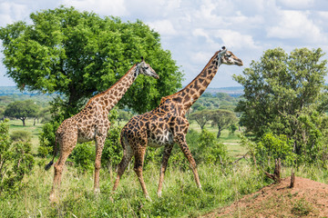 Walking giraffes