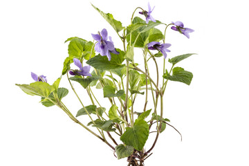 Beautiful violet spring viola flowers, Viola reichenbachiana, dog violet, with branches and leaves isolated on white Wall mural