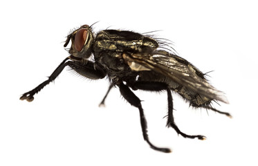 Side view flesh fly - Sarcophagidae