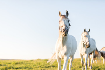 Two white horses trotting ahead on the green grass field.