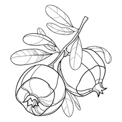 Vector branch with outline Pomegranate whole fruit and ornate leaf in black isolated on white background. Drawing of ripe Pomegranate bunch in contour style for summer design or coloring book.