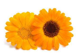 marigold flowers isolated