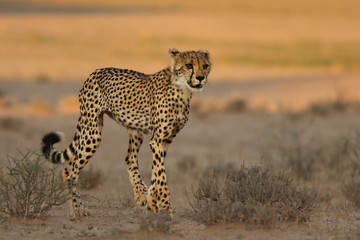 The cheetah (Acinonyx jubatus) is walking in the dry savanna in beautiful light in the evening. Female spotted cat in the desert.
