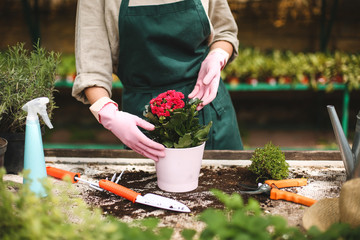 Close up woman hands in pink gloves planting a flower in pot while working in greenhouse Wall mural