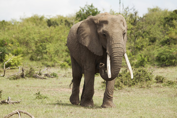 Female Adult Elephant