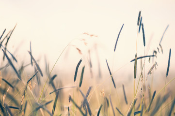 Wild grasses in a field at sunset. Shallow depth of field, vintage filter