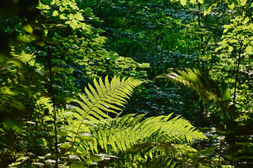 View of the fresh green leaves of fern illuminated by sunlight