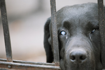 Black labrador retriever outdoors waiting for owner against the fence - Aging pet concept background