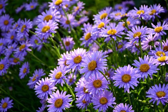 Purple Alpine asters in the garden after the rain enjoy the sun.