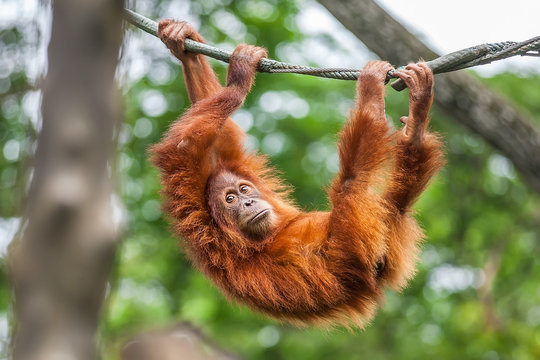 Young Orangutan with funny pose swinging on a rope