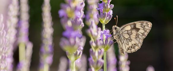 Schachbrett Schmetterling im Lavendel als Panorama