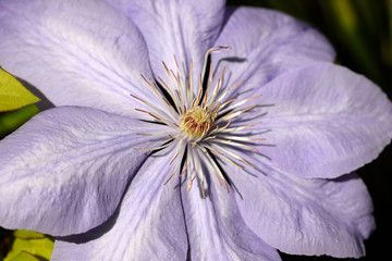 Lilac clematis flower climbing plant in the spring garden