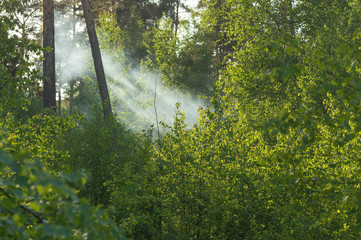 Spring forest permeated with sunlight. Smoke from the fire.