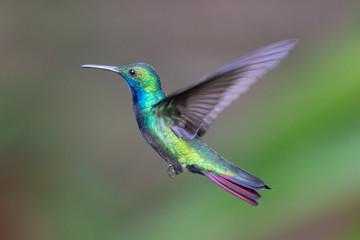 Hummingbird(Trochilidae)Flying gems ecuador