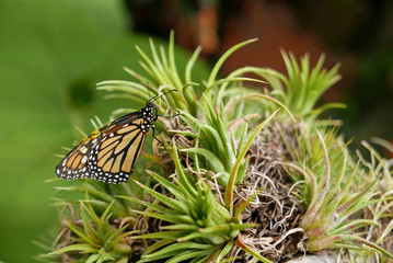 Butterfly on tillandsia air plant