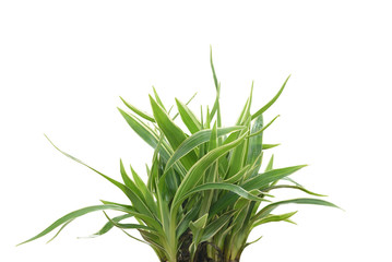 Spider plant isolated on white background. (Chlorophytum comosum)