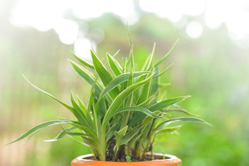 Spider plant with morning light and green bokeh background. (Chlorophytum comosum)