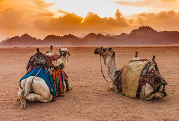 Photo sur Aluminium Moyen-Orient Two camels are in the Sinai Desert, Sharm el Sheikh, Sinai Peninsula, Egypt. Orange beautiful sunset above mountains