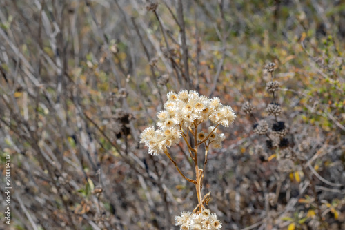 Isolated Small White Desert Flowers Bloom In Nature On Hot Summer