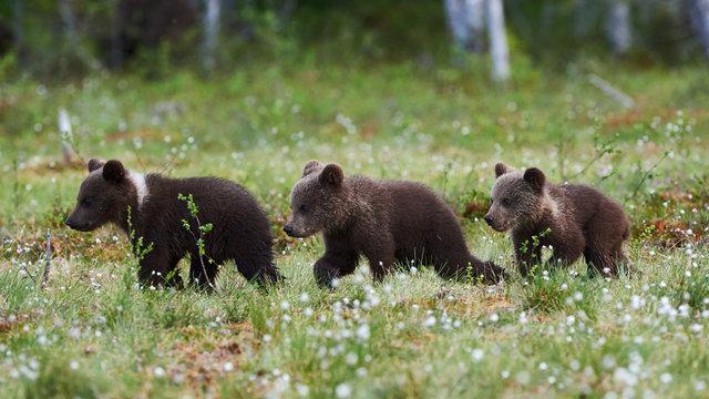 Three bears 8Ursus arctos) cubs walking