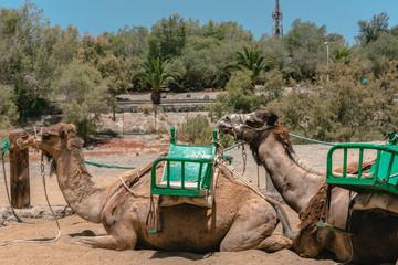 Camellos con silla de montar tumbados en el suelo