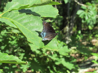 Red-spotted purple admiral butterfly (Limenitis arthemis) on a leaf in the sunlight