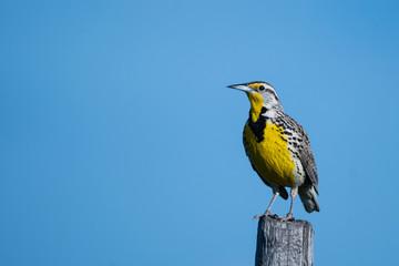 Western Meadowlark on a Fence Post