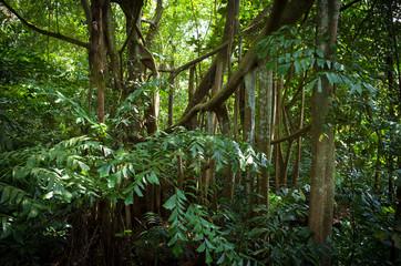 Jungle Roots From Banyan Tree - Sungei Buloh, Singapore