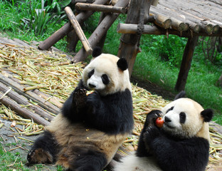 close up on giant panda eating red apple