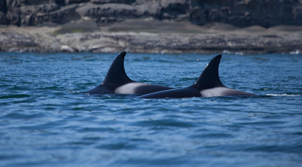 Orca dorsal fin breaking the surface