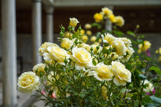 Blooming and budding beautiful yellow rose flowers on blurred background of Hagia Sophia historical world heritage building part, selective focus