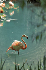 Pink flamingo walking in water