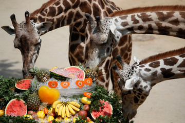 Giraffes eats fruits chilled on ice during a hot day at an amusement park in Yongin