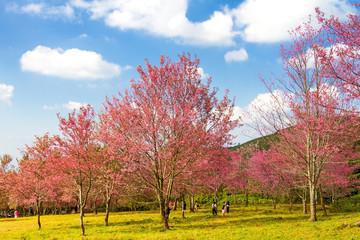 Idyllic of pink Cherry blossom flower or Sakura flower