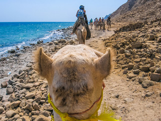 tourists on camels ride with Bedouins along the coast of the golden city famous for its sunsets and Blue Hole.