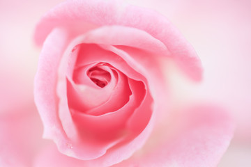 薔薇 ストロベリーダイキリ