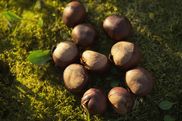Sprouts chestnut fruit lying on the grass