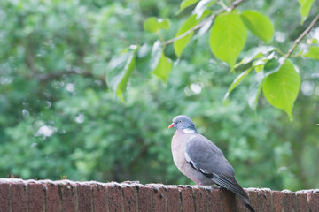 A pigeon stands on a brick wall near to trees