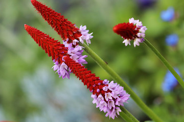Primula vialii blooms in the summer from June to August with red purple flowers