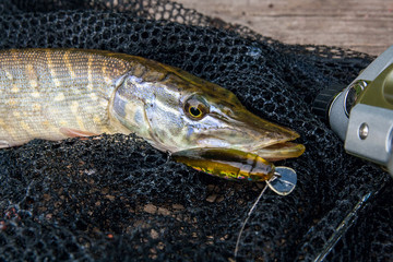 Freshwater pike with fishing lure in mouth and fishing equipment lies on black fishing net..